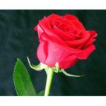 Роза (50 см)